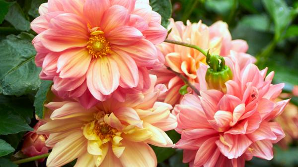 dahlien herbstblumen