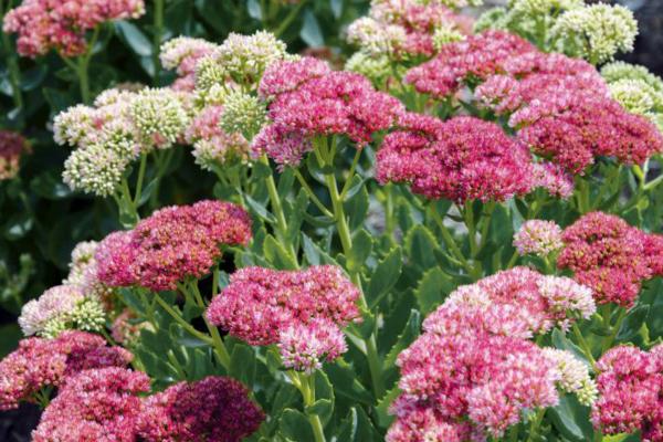 fetthenne herbstblumen für den balkon