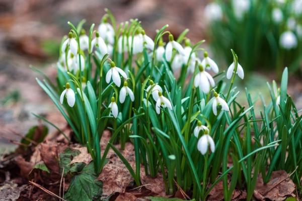 frühblüher pflanzen schneeglöckchen