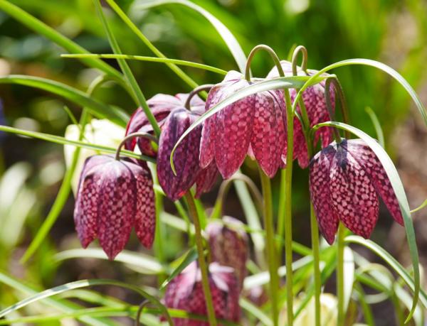 frühblüher schachblume pflanzen