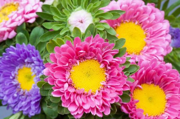 herbst astern herbstblumen für den balkon