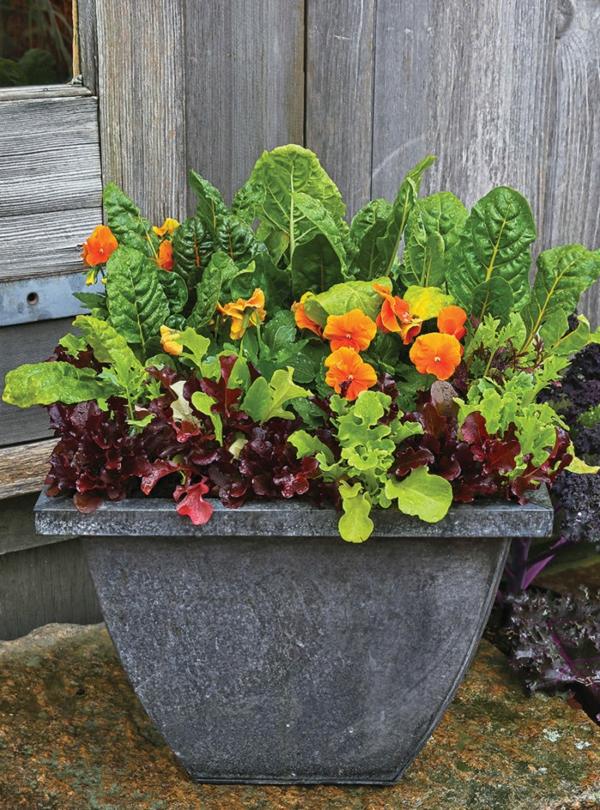 herbstbepflanzung Horn-Veilchen Salatpflanzen Mangold