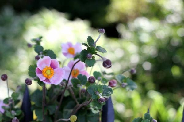 herbstbepflanzung balkon herbst anemone blumenkasten
