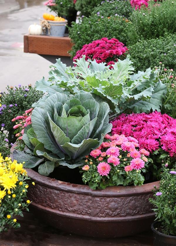 herbstbepflanzung dekorativer Kohl Grünkohl Chrysanthemen