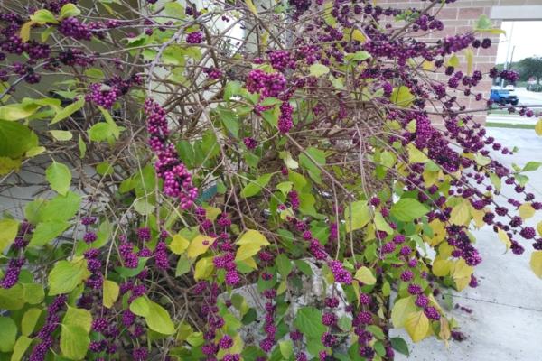 herbstbepflanzung garten liebesperlenstrauch pflanzen