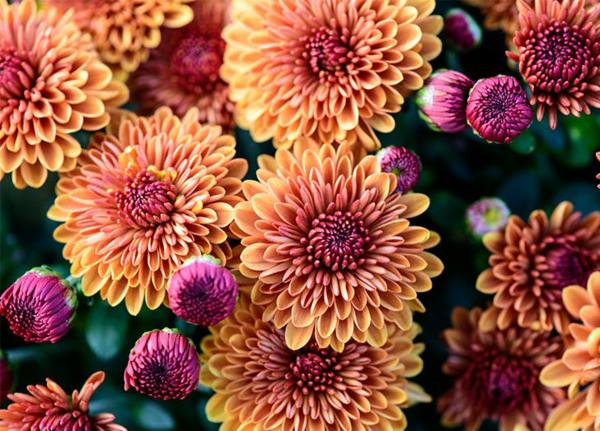 herbstblumen für den balkon chrysanthemen