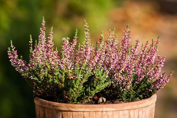 herbstblumen für den balkon heidekraut pflanzen
