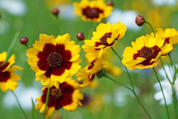 herbstgblumen für den balkon cosmee pflanzen