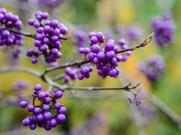 herbst bepflanzung garten liebesperlenstrauch pflanzen