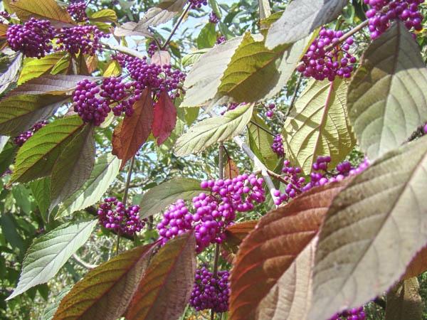 lilafarbene früchte liebesperlenstrauch
