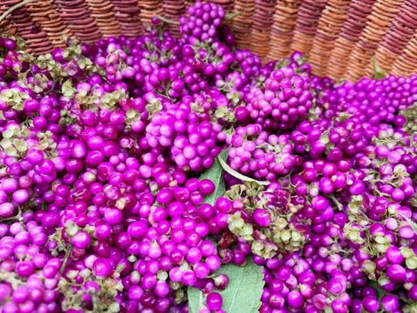 liebesperlenstrauch pflanzen früchte pflücken