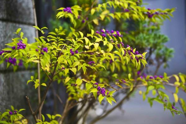 liebesperlenstrauch pflanzen gartengestaltung tipps