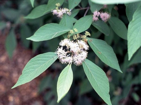 liebesperlenstrauch pflanzen weiße zarte blüten