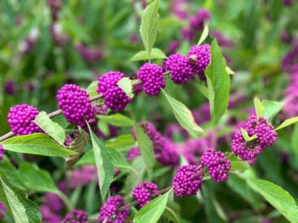 liebesperlenstrauch pflanzen wunderschöne farbe früchte