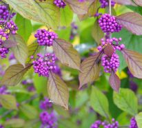 Liebesperlenstrauch pflanzen und dem Garten im Herbst und Winter mehr Pep verleihen