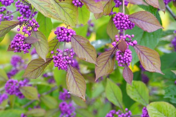 Callicarpa giraldii | Schoenfrucht