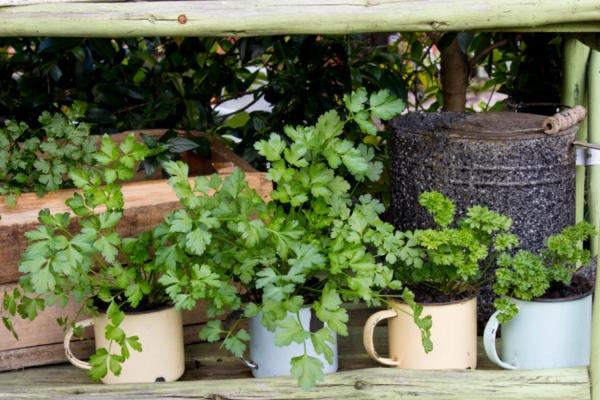 possíveis erros novos jardineiros fazem salsa de jardim de ervas