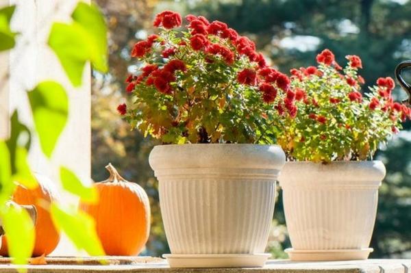 pflanzen überwintern chrysanthemen ünerwintern topfpflanzen überwintern tipps