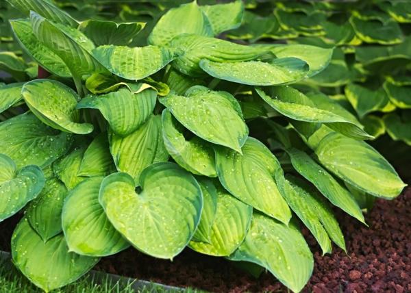 pflegeleichte Gartenpflanzen Funkien oder Herzblattlilien