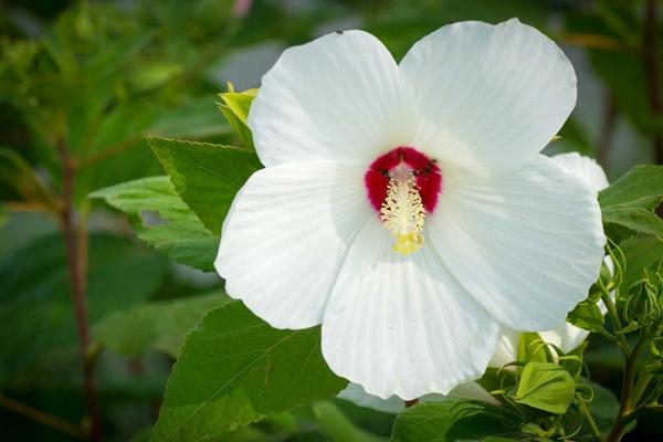 pflegeleichte Gartenpflanzen Hibiscus moscheutos