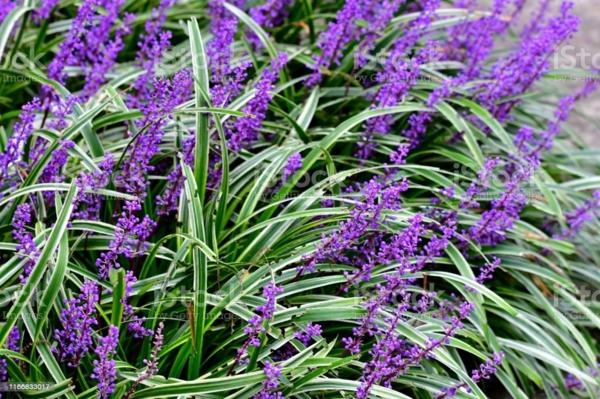 pflegeleichte Gartenpflanzen Lilientraube