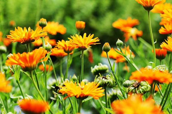 pflegeleichte Gartenpflanzen Ringeblume