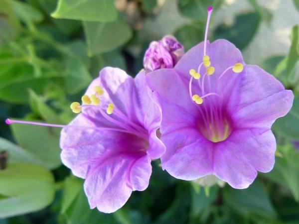 pflegeleichte Gartenpflanzen Wunderblume