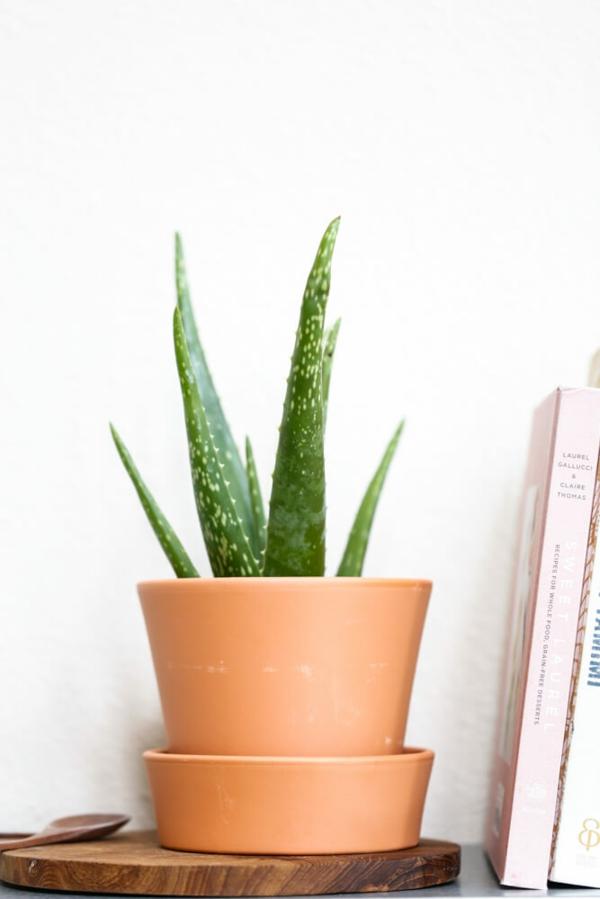 schöne zimmerpflanzen aloe vera pflegeleicht frische ausstrahlung