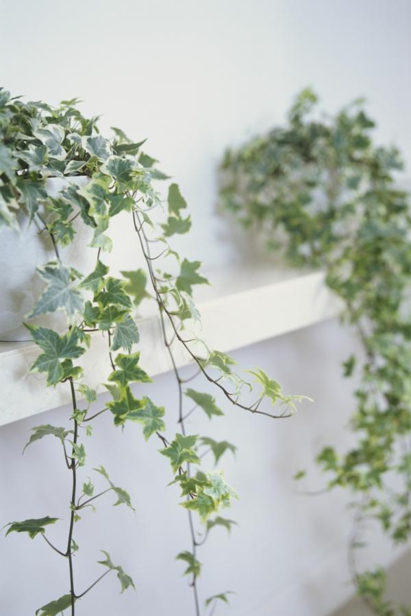 schöne zimmerpflanzen efeu robuste zimmerpflanzen