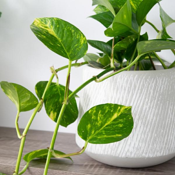 schöne zimmerpflanzen efeutute pflegen tipps