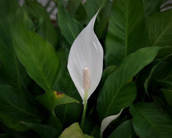 schöne zimmerpflanzen einblatt pflegen tipps