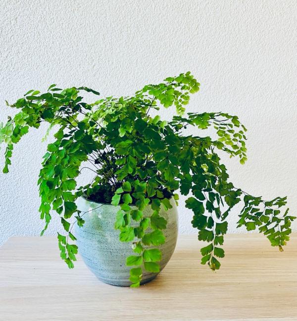 schöne zimmerpflanzen frauenhaarfarn pflegetipps