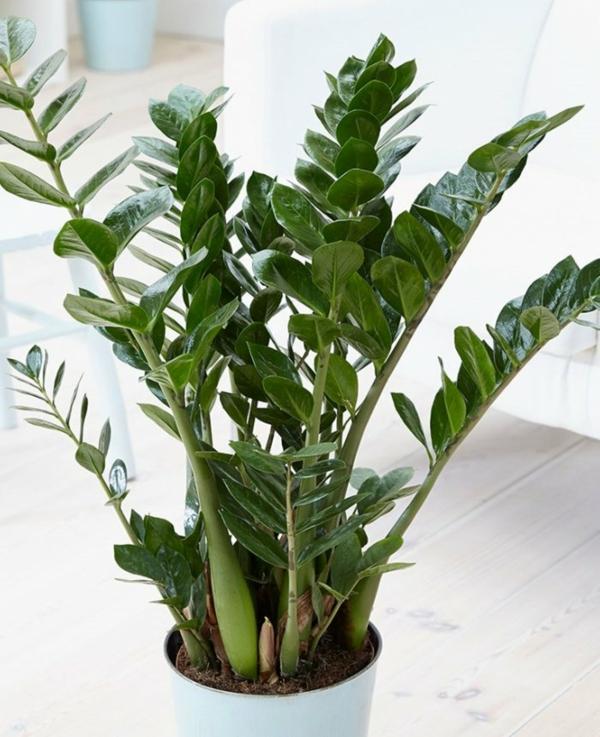 schöne zimmerpflanzen glücksfeder wissenswertes pflege
