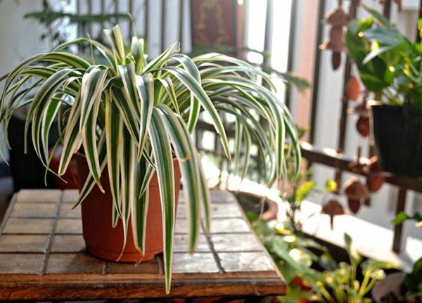 schöne zimmerpflanzen grünlilie pflanzen zuhause