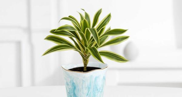 schöne zimmerpflanzen kein pflegeaufwand drachenbaum