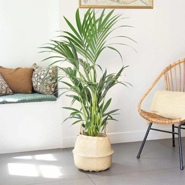 schöne zimmerpflanzen kentia palme pflegen tipps