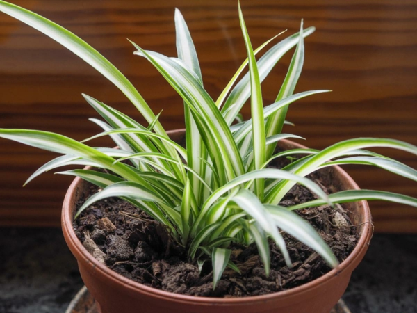 schöne zimmerpflanzen pflegeleichte zimmerpflanzen Grünlilie