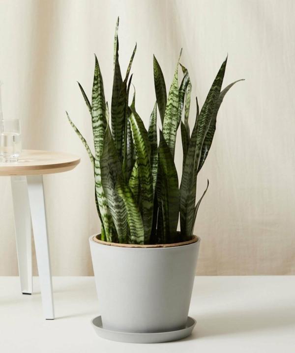 schöne zimmerpflanzen sanseveria pflegeleichte pflanzen