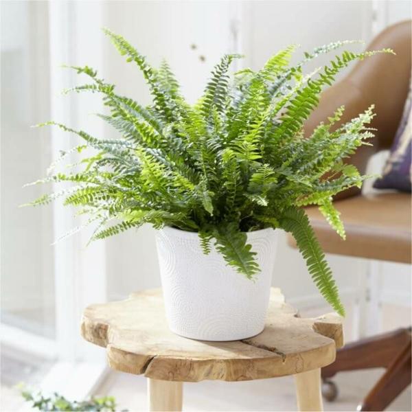 schöne zimmerpflanzen schwertfarn wohnung dekorieren ideen