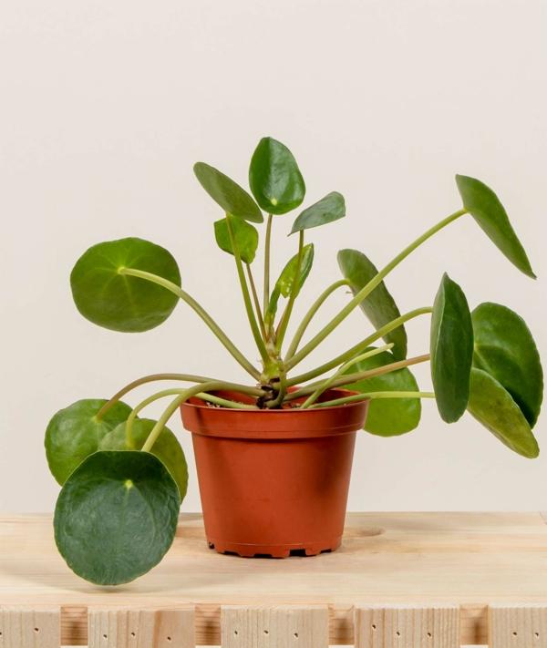 schöne zimmerpflanzen ufopflanze atraktives erscheinungsbild