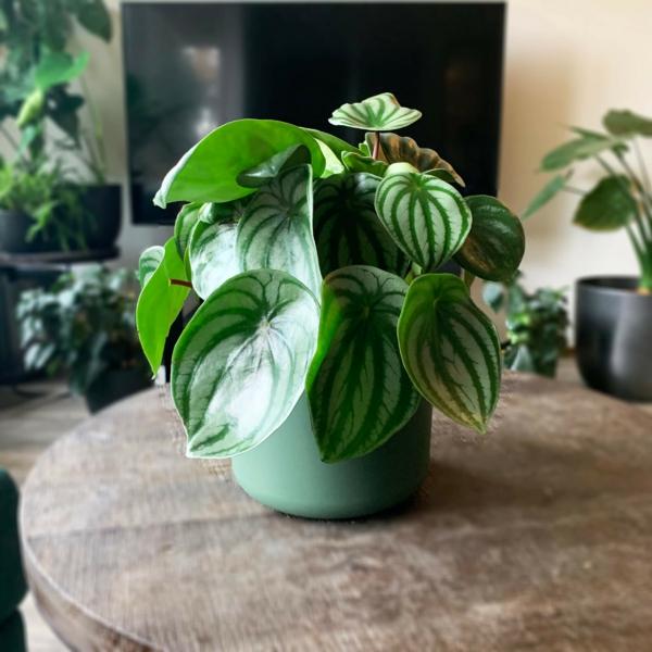 schöne zimmerpflanzen zierpfeffer ganz pflegeleicht