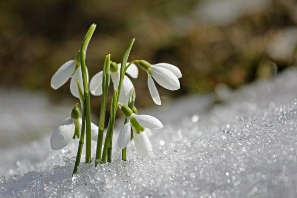 schneeglöckchen blumenzwiebeln setzen