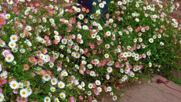 Spanische Gaenseblumchen Ampelpflanzen Ideen