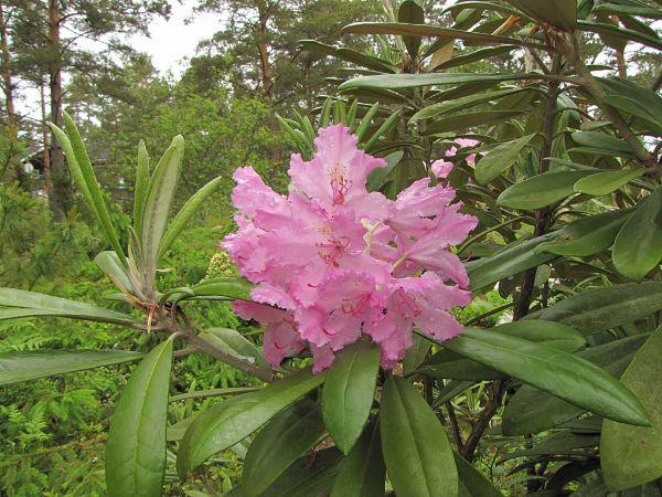 tropische Ausstrahlung Pflanzen Rhodonden