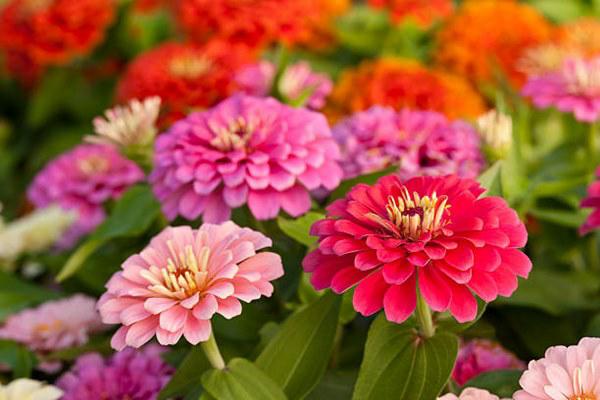 zinnien herbstblumen für den balkon