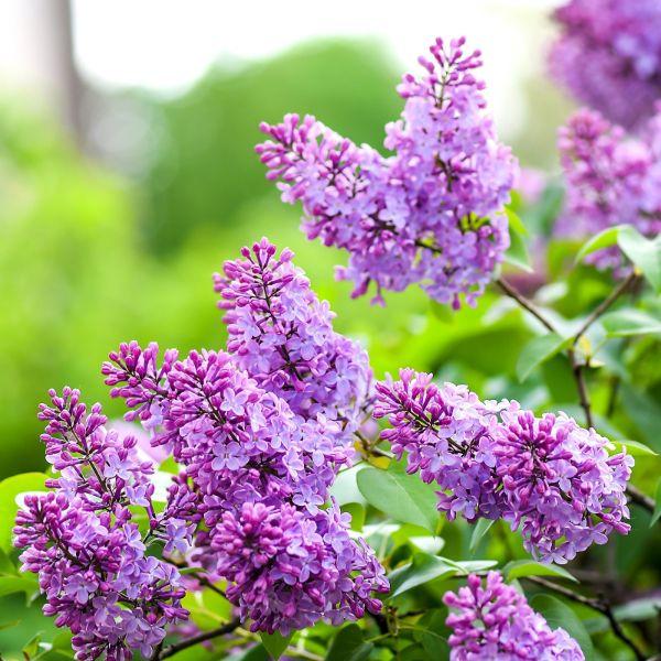Flieder Blüten Garten Ideen Gartengestaltung