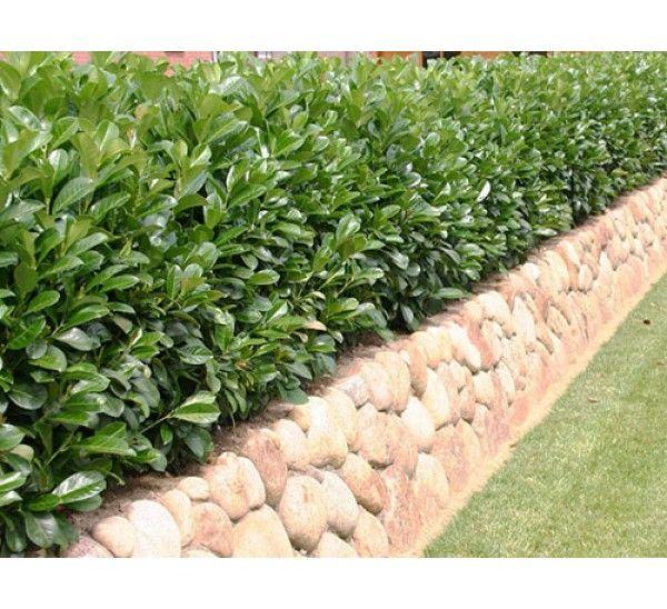 Gartenzaun mit Kirschlorbeer - Kirschlorbeer schneiden