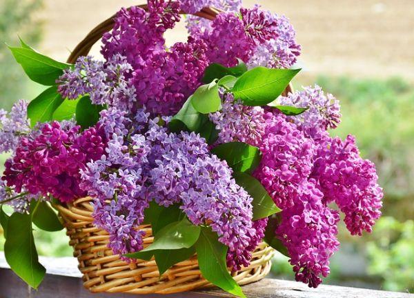 Korb mit Blüten Flieder Pflegetipps