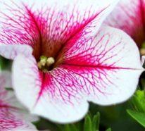 Petunien überwintern: Was ist wichtig über die Petunien zu wissen?