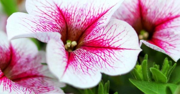 Petunien Blütezeit Pflege Tipps Gartenpflanzen